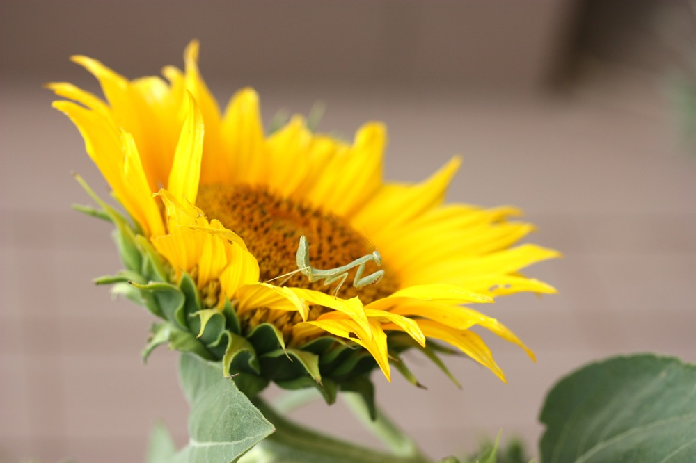 photoblog image Praying Mantis on Sunflower