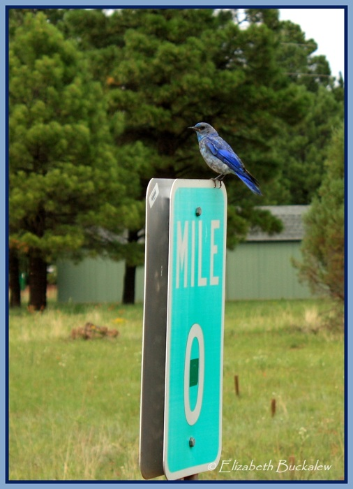 photoblog image Mountain Bluebird