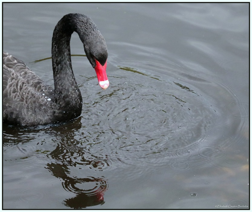 photoblog image The Black Swan